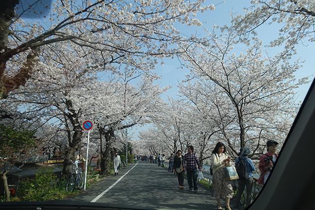 賀茂川上流の桜のトンネルをドライブ。見事に咲いた花を見て頂きました。